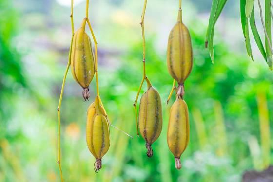 Plody orchidejí, zde rodu Cymbidium, obsahují ohromné množství semen