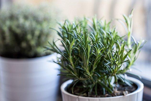 Mezi rostliny, kterým svědčí přezimování v chladu, patří i voňavá rozmarýnka