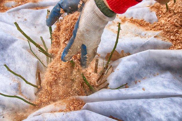Mulč z bukových pilin ochrání růže před mrazy.