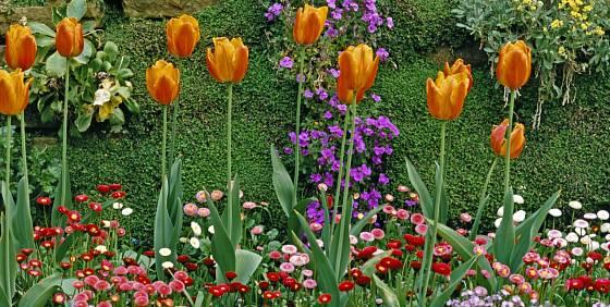 Soleirolia tvoří pozadí výsadby okrasných cibulovin
