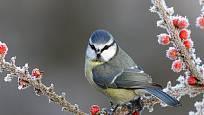 Sýkora modřinka (Parus caeruleus)