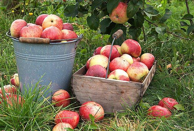 Skladovat lze pouze zcela zdravá jablka