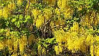 Pozor, lusky tohoto krásného stromu, štědřence zlatého deště, jsou jedovaté