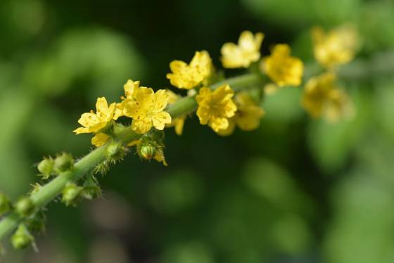 květenství řepíku lékařského