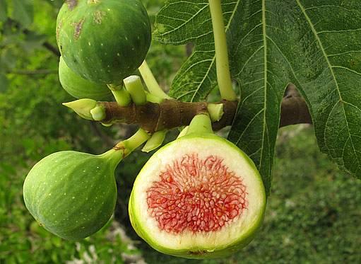fíkovník (Ficus carica)