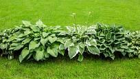 Pás vytvořený hostami v trávníku.