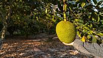 Jackfruit má skutečně obří plody, respektive plodenství.