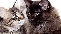 mainské mývalí kočky