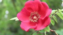 růže Moyesova neboli mandarínská, Rosa moyesii
