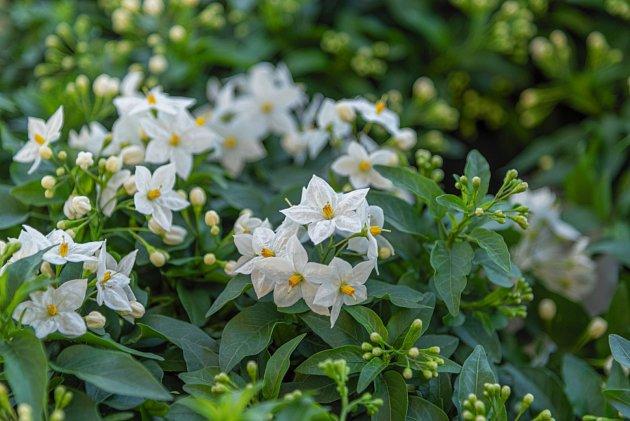 Lilek jasmínový (Solanum jasminoides)