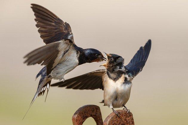 Vlaštovka dokrmuje odrostlé mládě