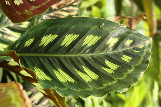 Calathea libbyana pochází z amazonské nížiny Ekvádoru