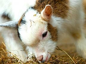holandská koza