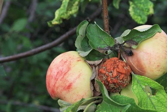 Monilióza se snadno šíří na sousední plody.