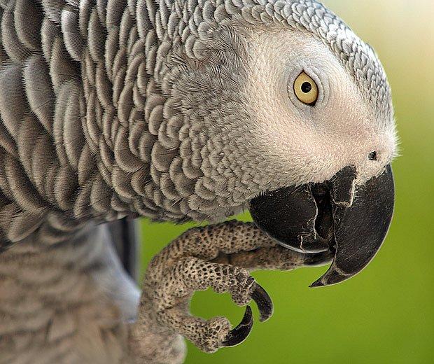 papoušek šedý zvaný žako (Psittacus erithacus)
