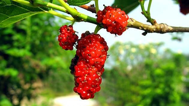 Červené plody morušovníku