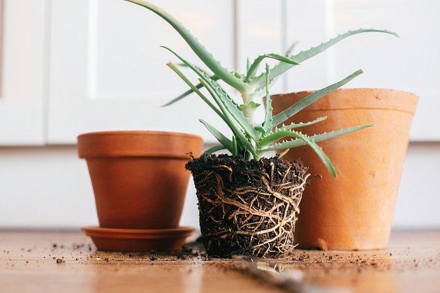 Po vyjmutí rostliny z původní nádoby zkontrolujte stav kořenů.