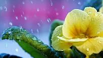 Prvosenka čili primulka patří ke květinovým poslům jara.