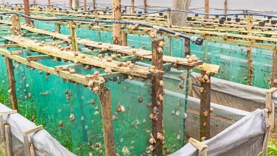 Chov hlemýždě kropenatého (Helix aspersa maxima)