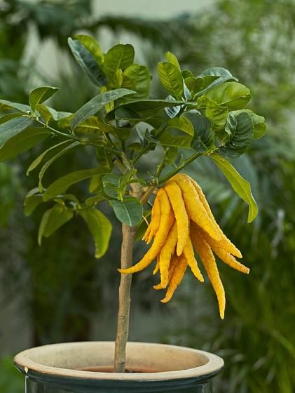 Cedrát, Citrus medica var. Digitata, známý jako Budhova ruka.