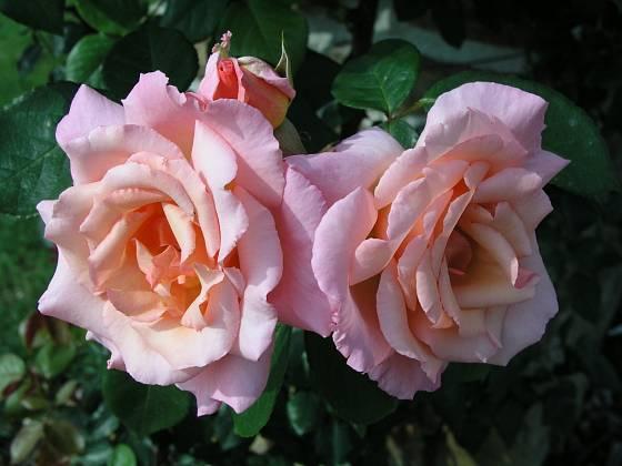 Compassion (Harkness, Velká Británie, 1971). Vonící, asi 10 cm velký květ je světle růžový a světle oranžový, poupě v sytější barvě; výška růže 3 m. Opakovaně kvetoucí