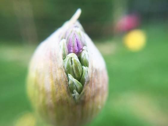 Pučící květenství česneku obrovského