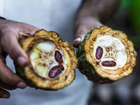 Plody kakaovníku v sobě skrývají cenná, všemi milovaná semena