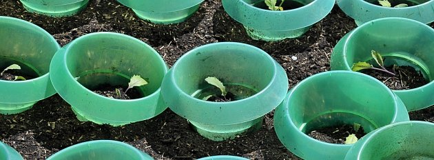 Semenáčky kedluben chutnají slimákům, ochrana může mít různé podoby