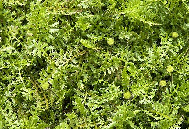 mechovec (Cotula squalida)