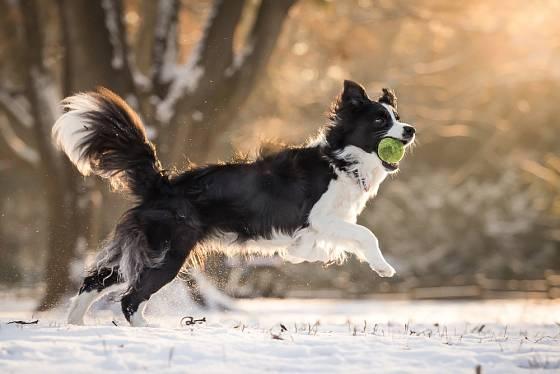 Většina psů si sníh v zimě dokáže užít.