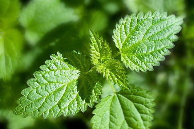 Kopřiva je rostlina vyskytující se na celém našem území s výjimkou nejvyšších hor a její léčivé účinky jsou dobře známé.