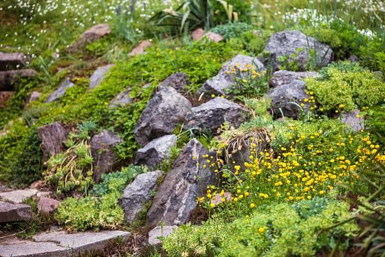 Žlutě kvetoucí skalničky doslova rozzáří každou skalku.