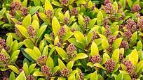 Skimmia japonica rubela