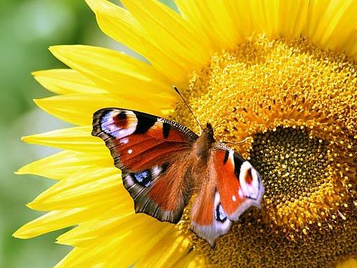 Motýl paví oko
