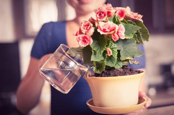 V průběhu vegetační sezóny je dobré pokojové rostliny také přihnojovat nejen je zalévat.