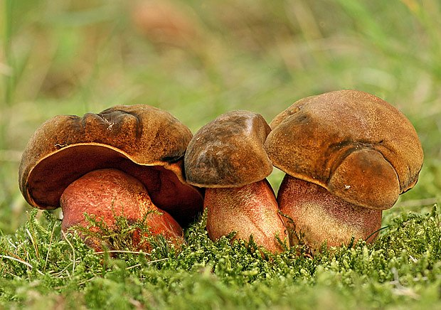 hřib kovář (Boletus erythropus)