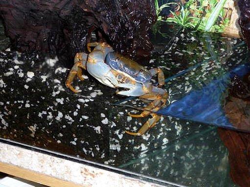 Krab mířící do vody