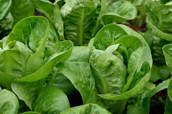 Odrůda salátu Little Gem je křehká jako římský a ledový, sladká jako klasický hlávkový