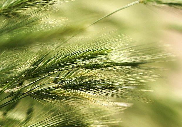 žito (Secale cereale)