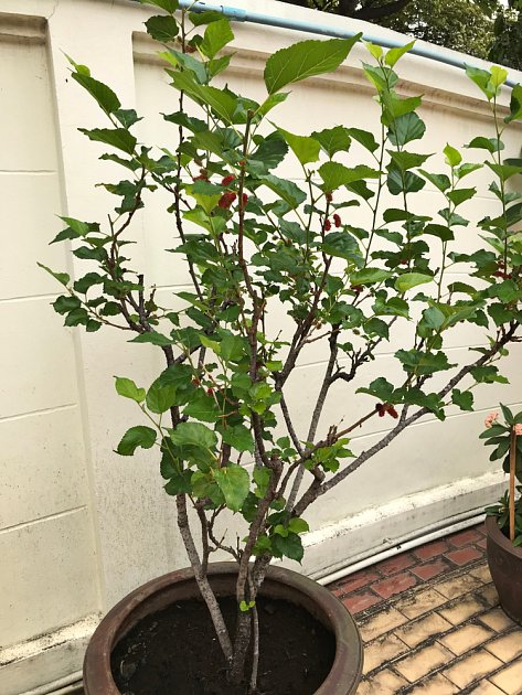 Malé kultivary moruší lze pěstovat i v květináči