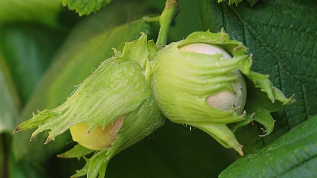Lískové oříšky, plody lísky obecné.