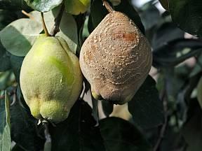 Plody, které napadla spála, nemusejí vždy spadnout, někdy se naopak vysuší (mumifikují) a zůstanou viset na stromě i přes zimu.