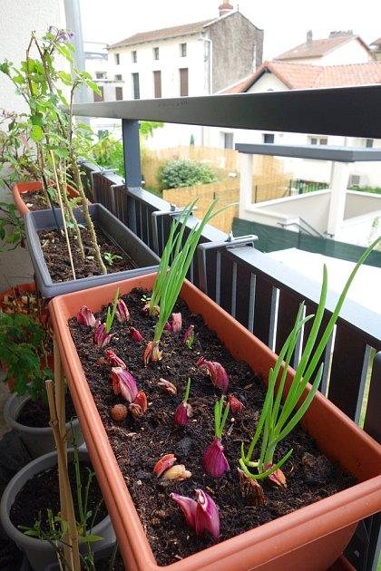 Šalotku si můžete vypěstovat i v truhlíku na balkoně.