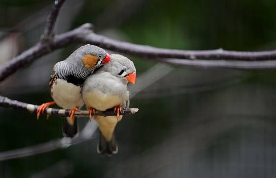 Zebřičky potřebují žít v páru, o samotě strádají