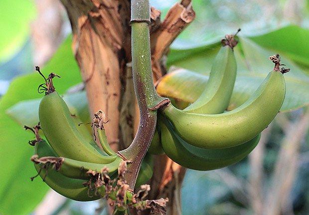 zrající banány