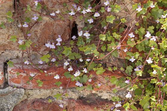 Zvěšinec zední (Cymbalaria muralis).