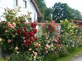 Růže jsou ve skutečnosti velmi nenáročné královny