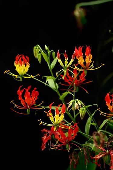 Bohatě kvetoucí glorióza (Gloriosa superba).