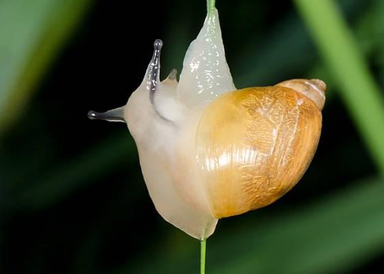 jantarka obecná (Succinea putris)