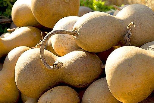 lagenarie (kalabasa)